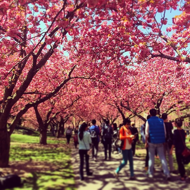 Photo of the day cherry blossom at the brooklyn botanical - Brooklyn botanical garden admission ...